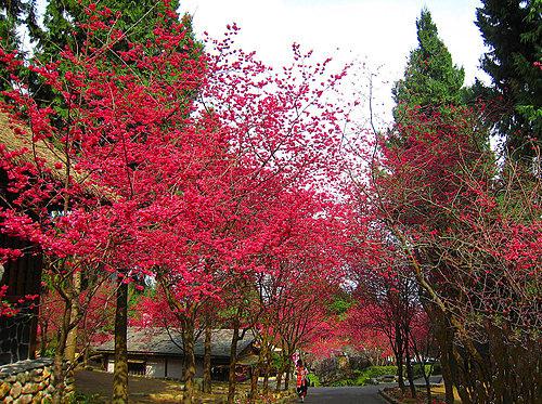 九族櫻花-2