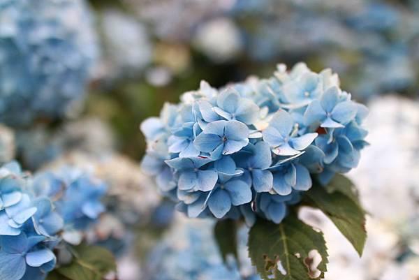 沖繩饒平名花園的繡球花清一色是藍和白,我沒有看到粉紅或紫色系,可見這兒的土質酸性到不行。