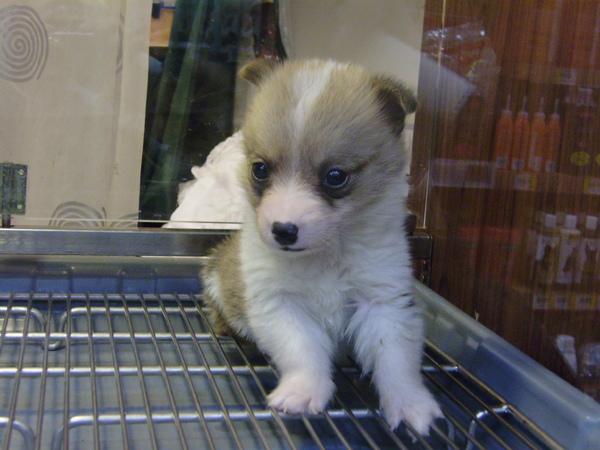 我最想養的狗狗之一    柯基
