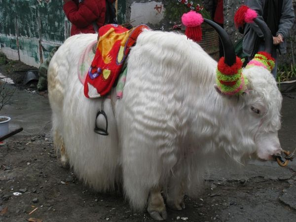 神聖的白氂牛
