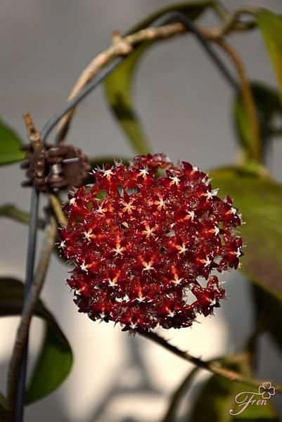 毬蘭 Hoya mindorensis