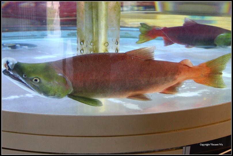 千歳サケのふるさと館(Chitose Salmon Aquarium)04