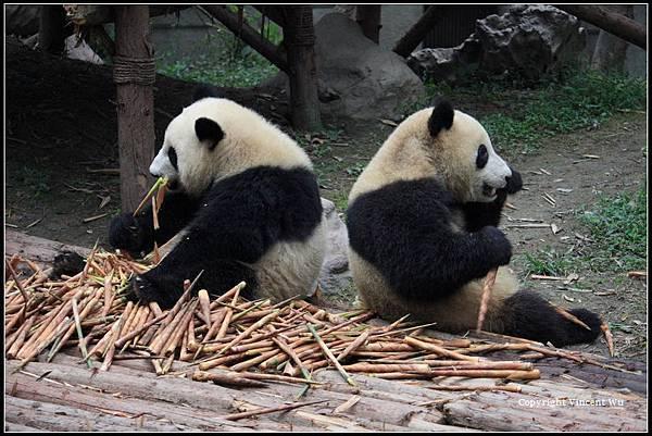 成都大熊貓繁育研究基地(CHENGOU RESEARCH BASE OF GIANT PANDA BREE)08