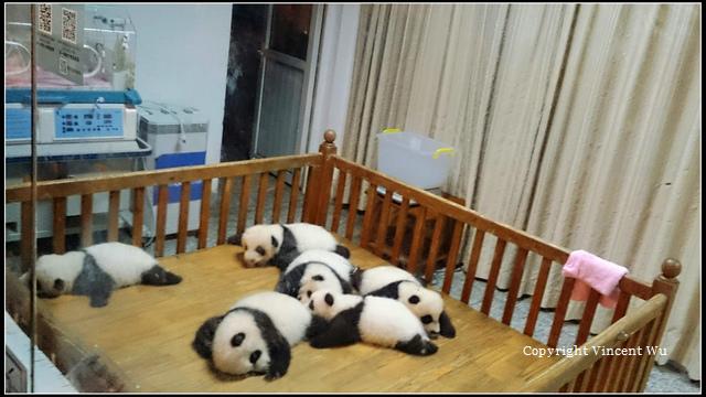 成都大熊貓繁育研究基地(CHENGOU RESEARCH BASE OF GIANT PANDA BREE)03