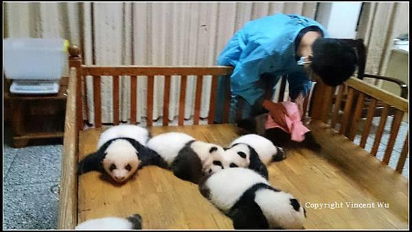 成都大熊貓繁育研究基地(CHENGOU RESEARCH BASE OF GIANT PANDA BREE)05