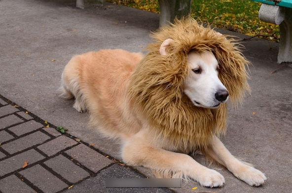 獅狗或狗獅