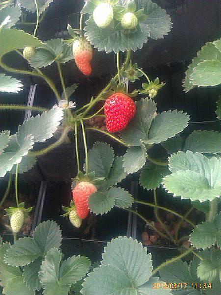 植物工廠安全無毒的草莓盛產囉