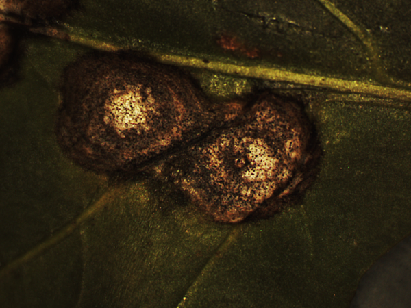 3.植株病害_2_Fungus_1 (11).png