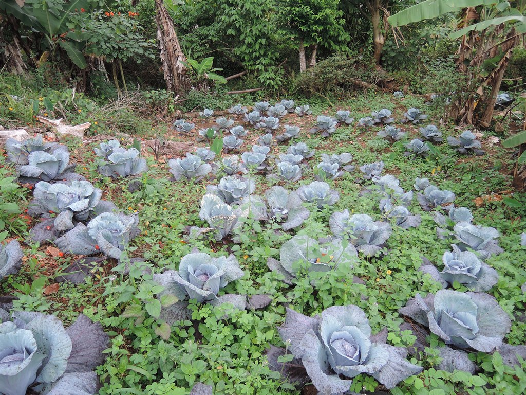 Cabbage_Fiji Farmer_Ratu Nanqina Naleba_Nadala_20150604 (3).jpg