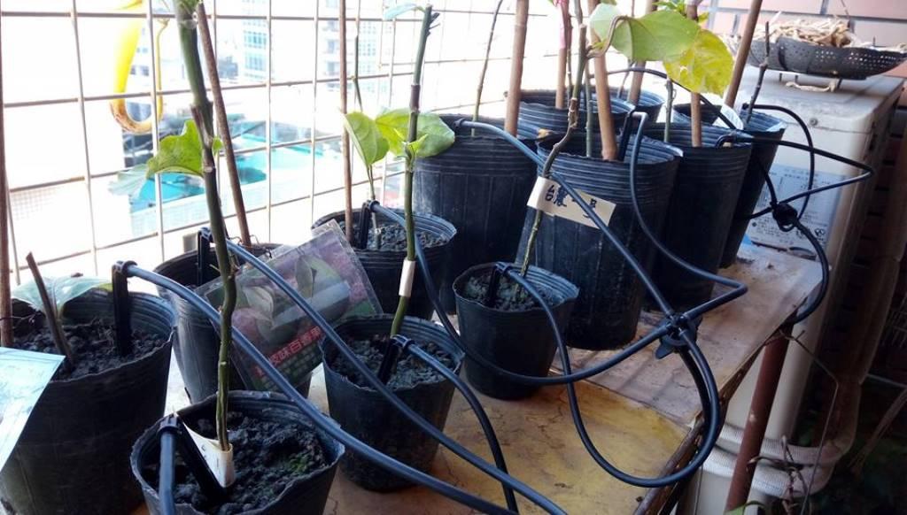 Drip Irrigation_Nepenthes_8.jpg
