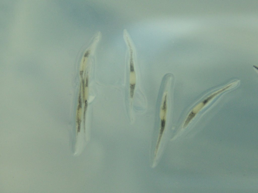 In Vitro Nep Seed Germination_2.jpg