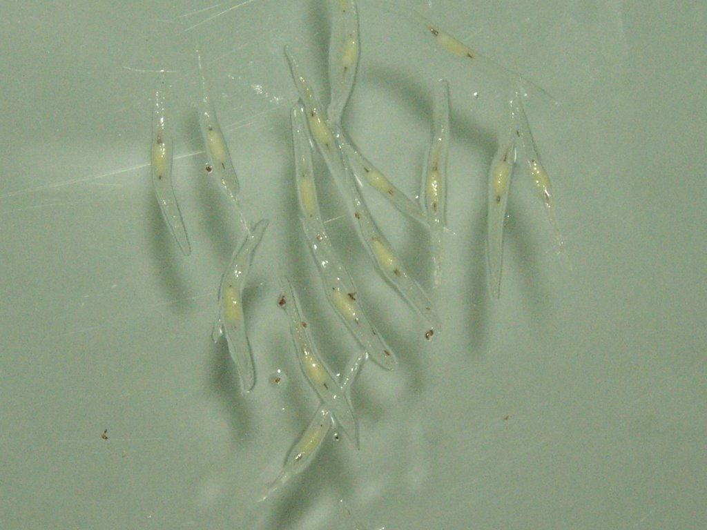 In Vitro Nep Seed Germination_3.jpg