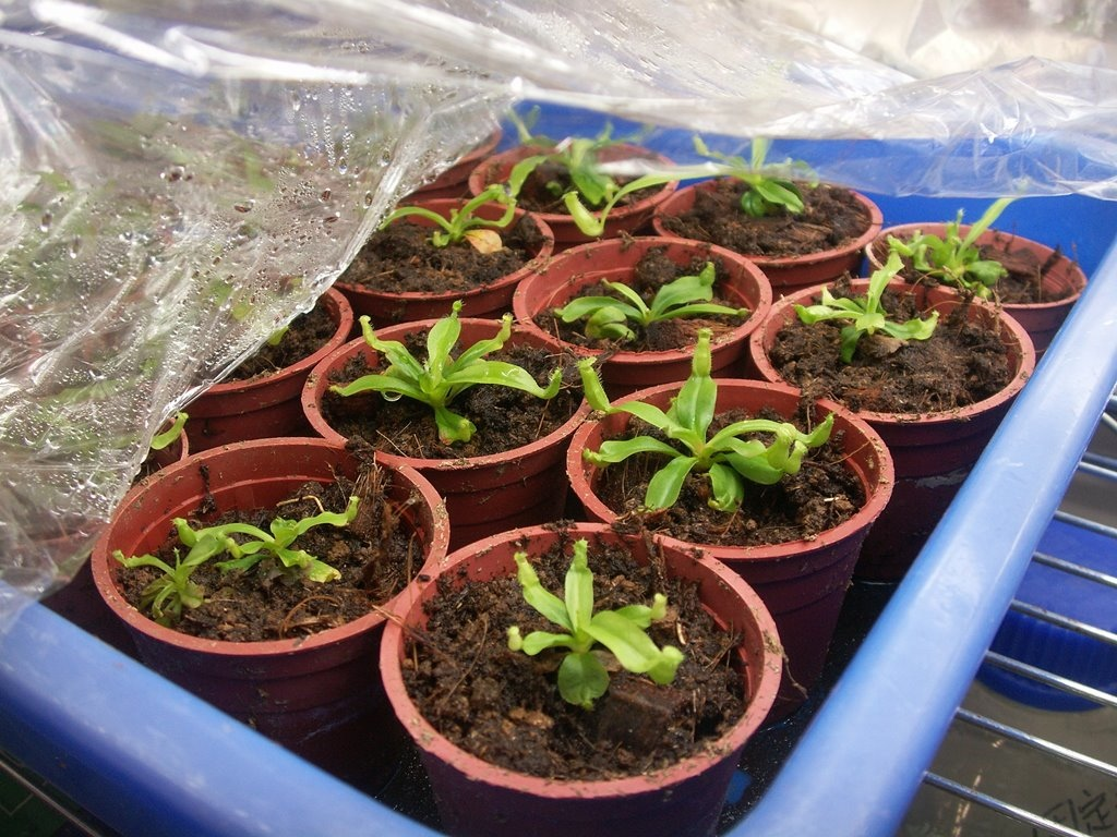 In Vitro Nep Seed Germination_12.jpg