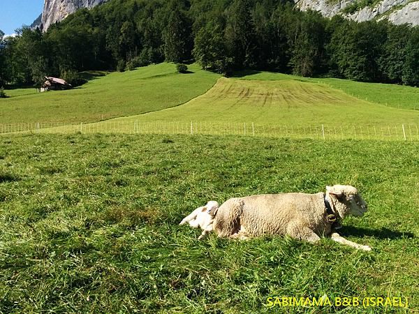 瑞士阿爾卑斯山綿羊