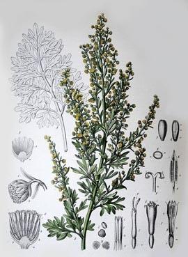 Artemisia_absinthium_xxiib.JPG