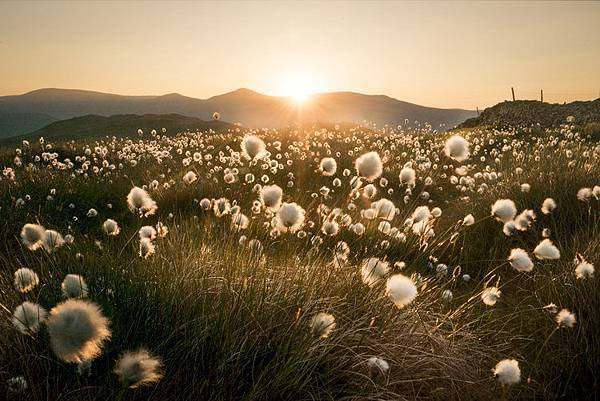 cotton_grass.jpg