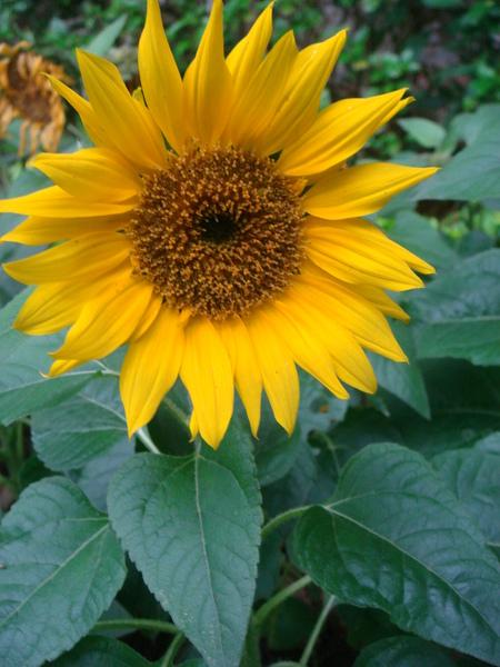 向日葵最美麗!