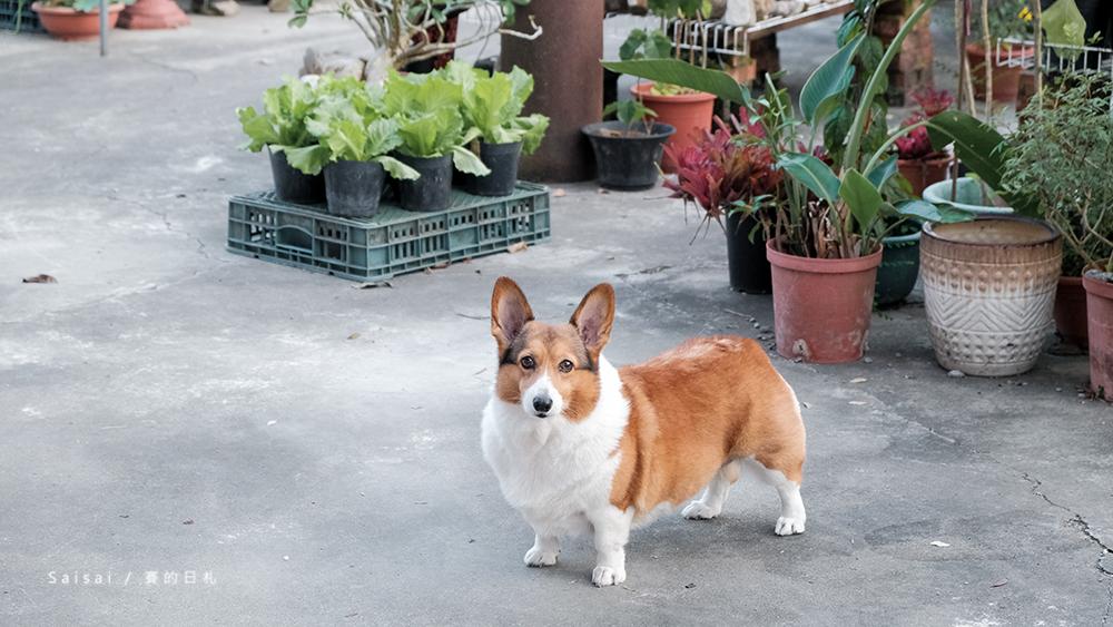 自然本色寵物飼料 Nature%5Cs Protection 狗狗飼料推薦 柯基飼料推薦 毛色飼料 毛光澤飼料 賽的日札11-3png.png