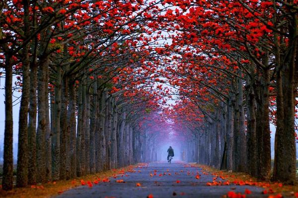 位於白河區的「林初埤木棉花道」日前被評為全球最美花道之一.jpg