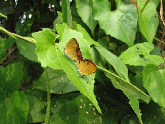 斜斑彩灰蝶