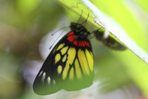 報喜斑粉蝶