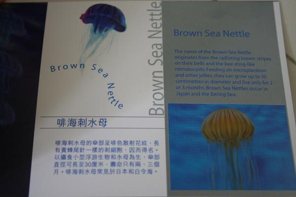 啡海刺水母