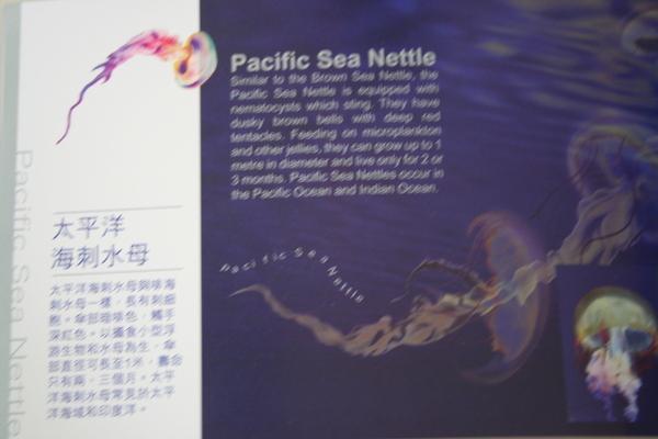 太平洋海刺水母