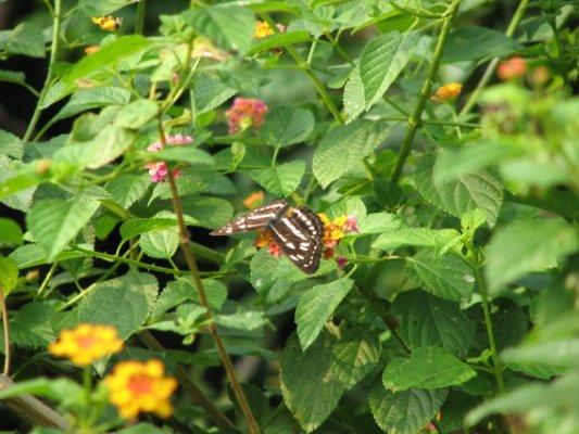 中環峽蝶3
