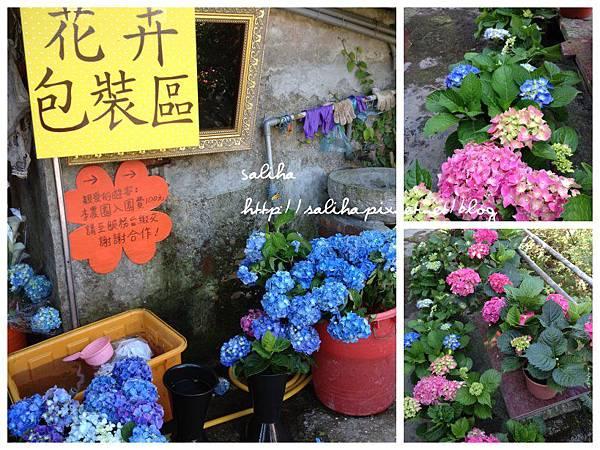 陽明山繡球花3