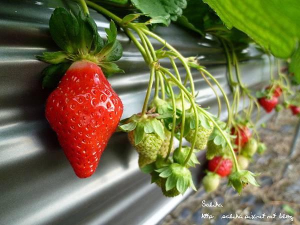大湖草莓季2 (4).JPG