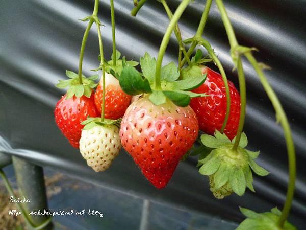 大湖草莓季2 (5).JPG
