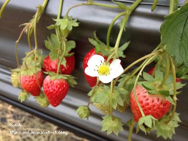 大湖草莓季2 (7).jpg