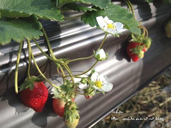 大湖草莓季2 (6).jpg