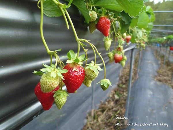 大湖草莓季2 (8).JPG
