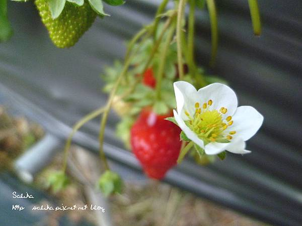 大湖草莓季2 (9).JPG