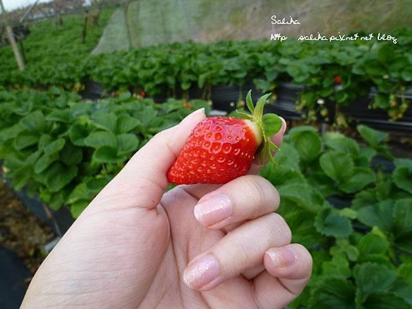 大湖草莓季2 (11).JPG