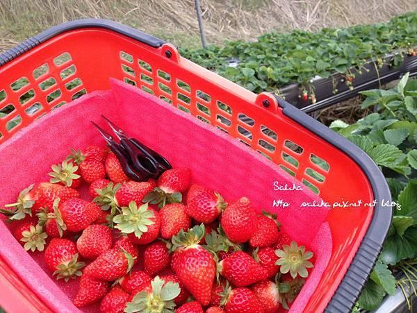 大湖草莓季.jpg