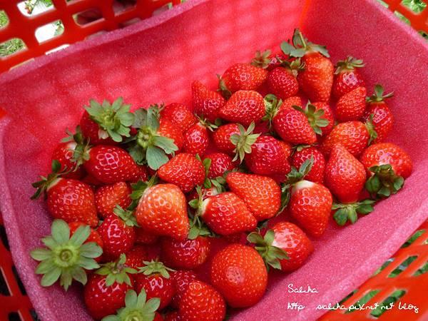 大湖草莓季 (1).JPG
