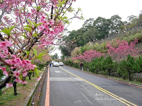 烏來賞櫻花景點花園新城 (23).JPG