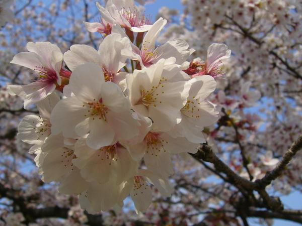 校園內的櫻花