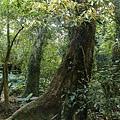 大板根熱帶雨林-九丁榕