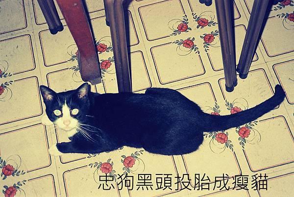 忠狗黑頭投胎成瘦貓