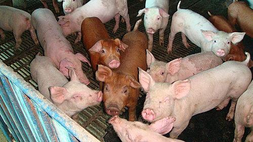 可愛的豬仔群