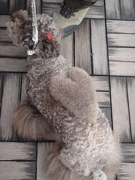 日本人都會把狗狗打扮美美的出國  這個更cool