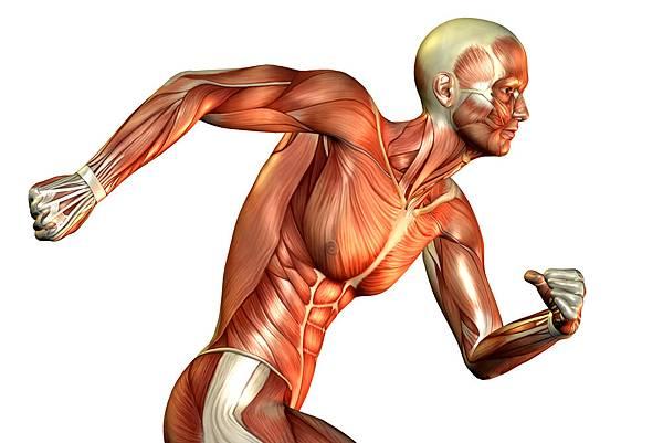 Muscle-fibers.jpg