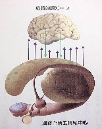 邊緣系統的情緒中心.jpg