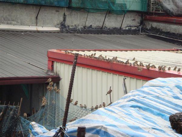 怪異麻雀滿屋頂