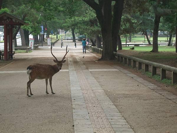 奈良公園-鹿