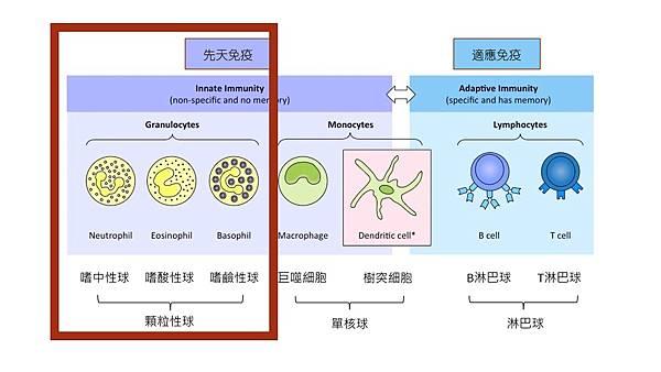 Granulocytes.jpg