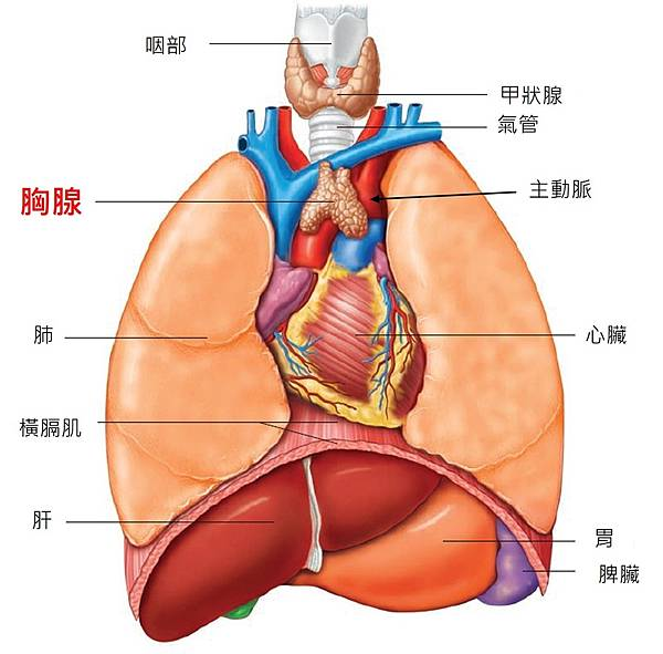 thymus-location.jpg